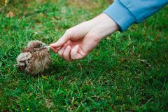 Feeding a nesting in real nature - Fallen out from nest. stock photos