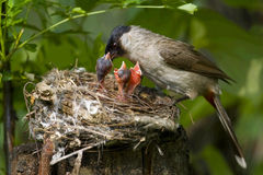 Feeding Nestling Stock Photo