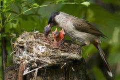 Feeding Nestling Stock Photo