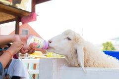 Feeding newborn lambs with milk Stock Photo