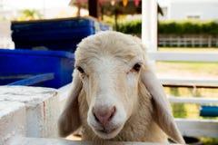 Feeding newborn lambs with milk Stock Photography