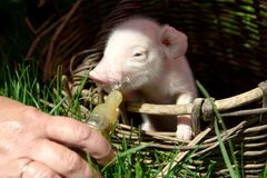 Feeding a newborn piglet in a basket from a bottle with a pacifi. Er. Ulyanovsk Region, Russia Royalty Free Stock Image