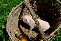 Feeding a newborn piglet in a basket from a bottle with a pacifi. Er. Ulyanovsk Region, Russia Stock Photo