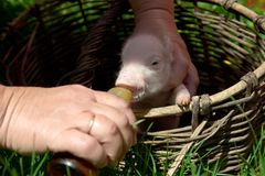 Feeding a newborn piglet in a basket from a bottle with a pacifi. Er. Ulyanovsk Region, Russia Stock Image