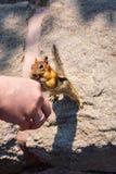 Hand Feeding Chipmunk stock images