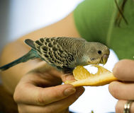 Feeding orange to a baby budgie. Feeding an orange to a hand-tame blue baby budgie Stock Images