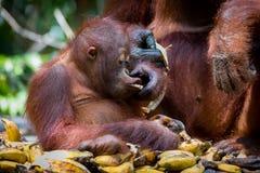The feeding of orangutans. Feeding orangutans in Tanjung Puting National Park in Borneo stock images