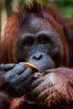The feeding of orangutans. Feeding orangutans in Tanjung Puting National Park in Borneo stock photos