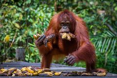 Feeding orangutans. In Tanjung Puting National Park in Borneo royalty free stock images