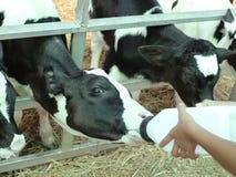Feeding orphan baby calf Royalty Free Stock Image