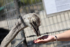 Feeding of ostrich Stock Photography