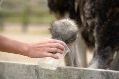 Feeding of ostrich on a farm in summer Stock Photography