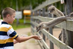 Feeding of ostrich on a farm in summer Royalty Free Stock Images