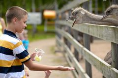 Feeding of ostrich on a farm in summer Royalty Free Stock Photography