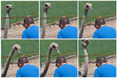 Feeding ostrich photostory Royalty Free Stock Photo