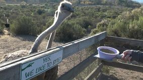 Feeding ostriches stock footage