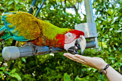 Feeding the parrot Royalty Free Stock Photo