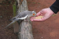 Feeding parrot Stock Images
