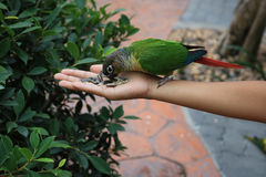 Feeding Parrot on hand. Detail of Feeding Parrot on hand Royalty Free Stock Photos