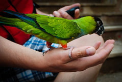 Feeding a parrot Stock Images