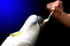 Feeding parrot with spoon Royalty Free Stock Image