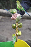 Feeding parrots. Feeding a handful of parrots stock photography