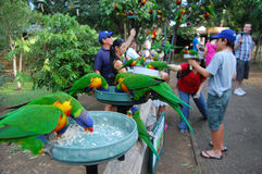 Feeding parrots in Australia Stock Image