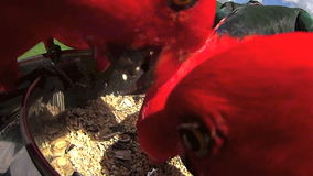 Feeding Parrots 5. Close up of Australian parrots fighting and shoving while being hand fed with a dish stock footage