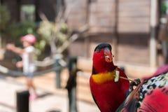 Feeding parrots at Gan Garoo Stock Photos