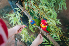 Feeding parrots at Gan Garoo Stock Images