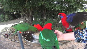 Feeding Parrots 1. Group of Australian parrots fighting and shoving while being hand fed with a dish stock footage