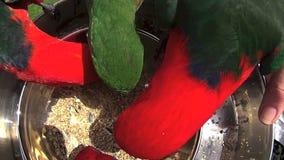 Feeding Parrots 6 stock video