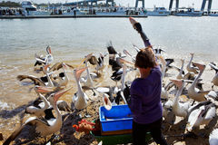 Feeding the pelicans Stock Images