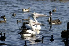 Feeding the Pelicans royalty free stock image