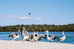 Feeding pelicans. Pelicans fighting over a feed royalty free stock images