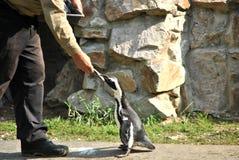 Feeding a penguin Royalty Free Stock Image
