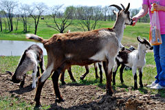 Feeding Pet goats. Feeding pet billy goat with baby kids stading by waiting Stock Photos