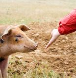 Feeding the Pig. Hand with red sleeve and a pig's head stock photo