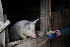 Feeding the Pig. A young pig in the pen and a hand with the meal Royalty Free Stock Photos