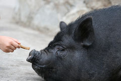 Feeding of a pig Stock Photography