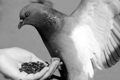 Feeding pigeon Stock Photography