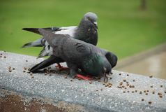 Feeding the Pigeon Royalty Free Stock Images