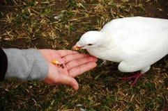 Feeding pigeon. A girl feeding white pigeonrn Stock Photography