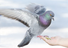 Feeding pigeon Stock Images