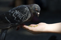 Feeding pigeon Royalty Free Stock Photo