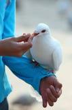 Feeding pigeon. The child feeding white pigeon Stock Images
