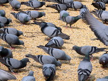 Feeding pigeon birds Stock Photography