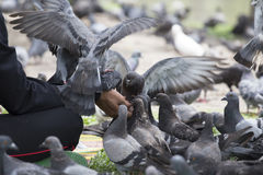 Feeding pigeon Royalty Free Stock Images