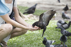 Feeding pigeon Royalty Free Stock Image