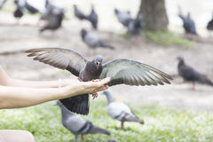 Feeding pigeon Royalty Free Stock Photography